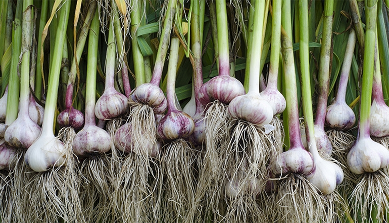 Fresh Garlic(bunch)