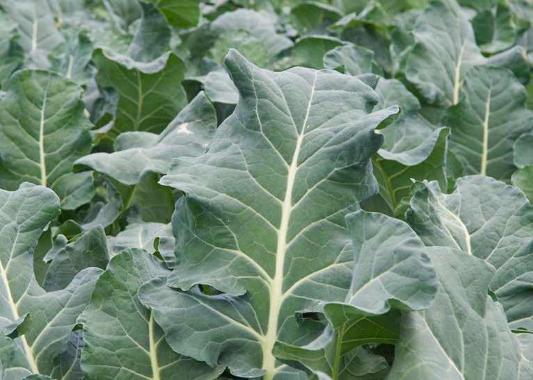 Collard Greens(bunch)