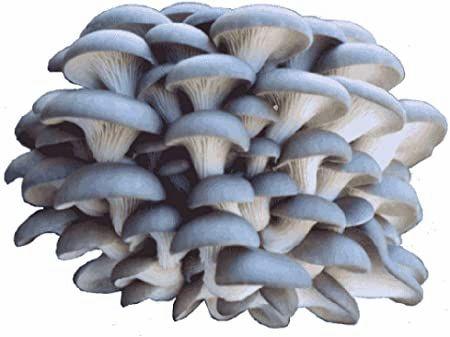 1/2 pound oyster mushroom