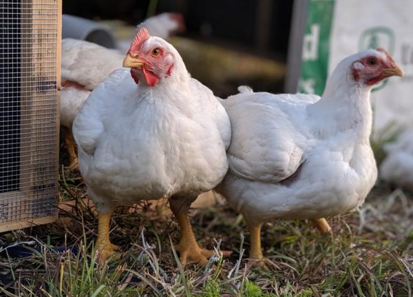 Chicken Carcasses