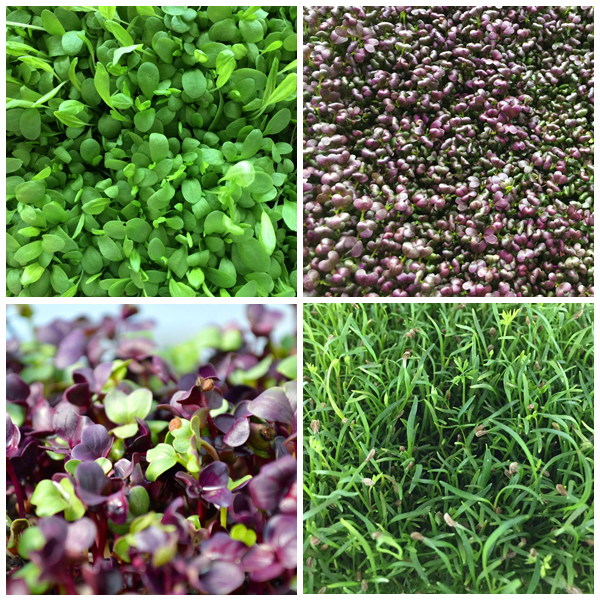 4 LB Variety Pack - Your choice of 4 microgreens - $25