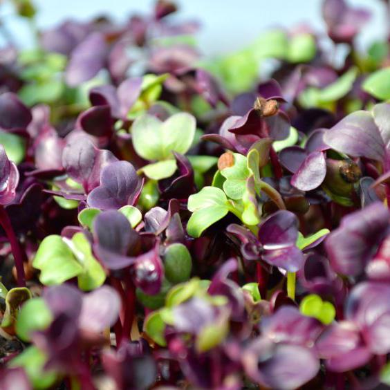 Purple Radish (1lb)