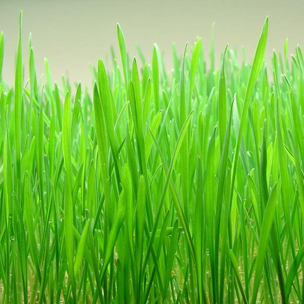 Wheatgrass (1lb)