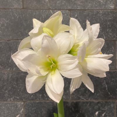 Bulbs | 'Alasca' Amaryllis Bulb, Size 26/28