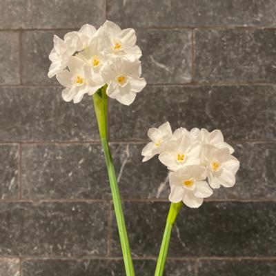 Bulbs | Set of 2 Ziva Paperwhites