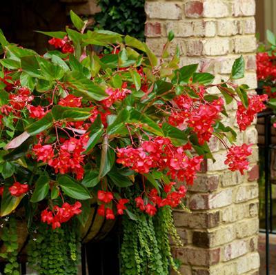 Begonia - Dragon Wing (Basket)