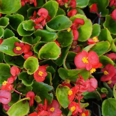 Begonia - Green Leaf Red