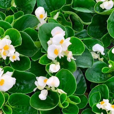 Begonia - Green Leaf White