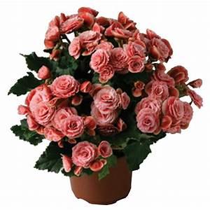 Begonia - Hiemalis