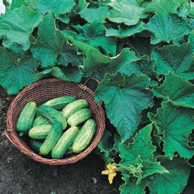 Cucumbers - Bush