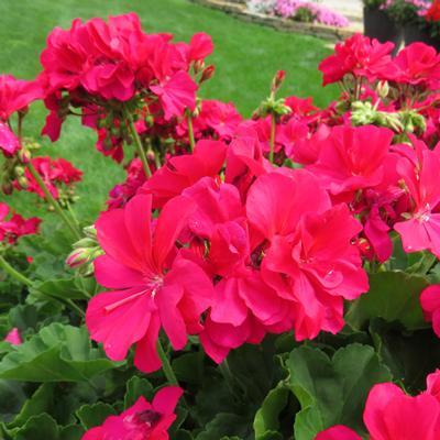 Geranium - Hot Pink