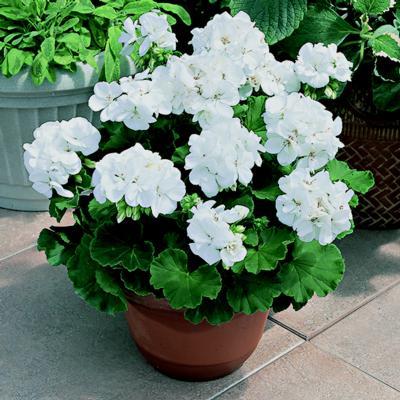 Geranium - White