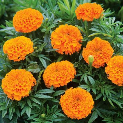 Marigold Tall - Orange Taishan