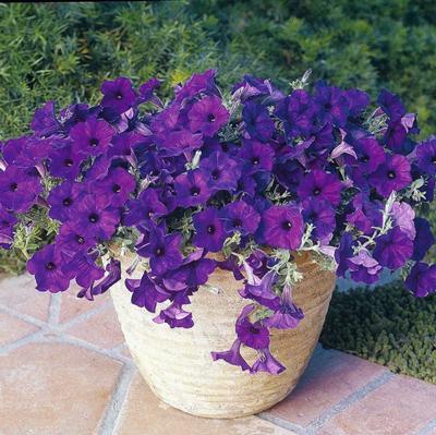 Wave Petunias - Purple