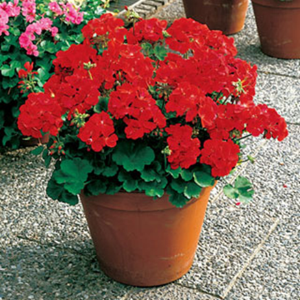 Geranium - Bright Red