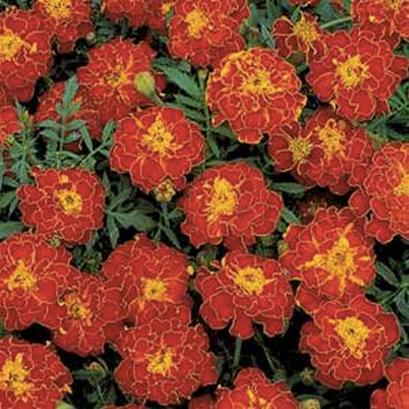 Marigold Dwarf - Safari Red