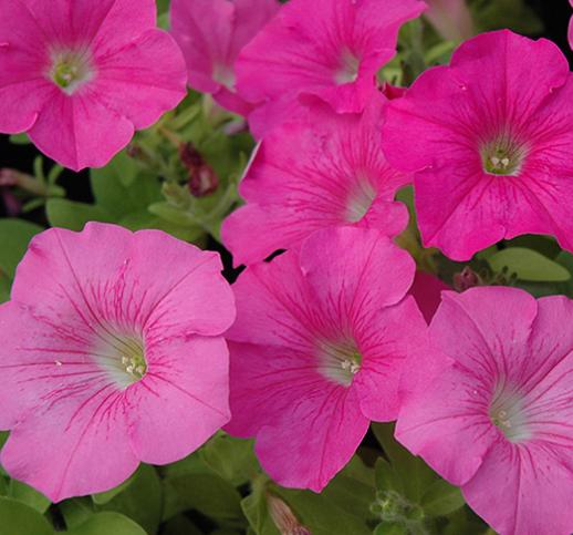 Wave Petunias - Pink