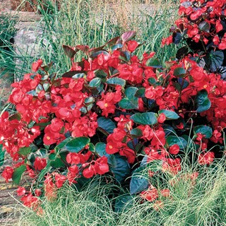 Begonia, Green Leaf Red