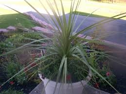 Dracena Spike, 4-inch pot