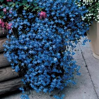 Lobelia, Midnight Blue