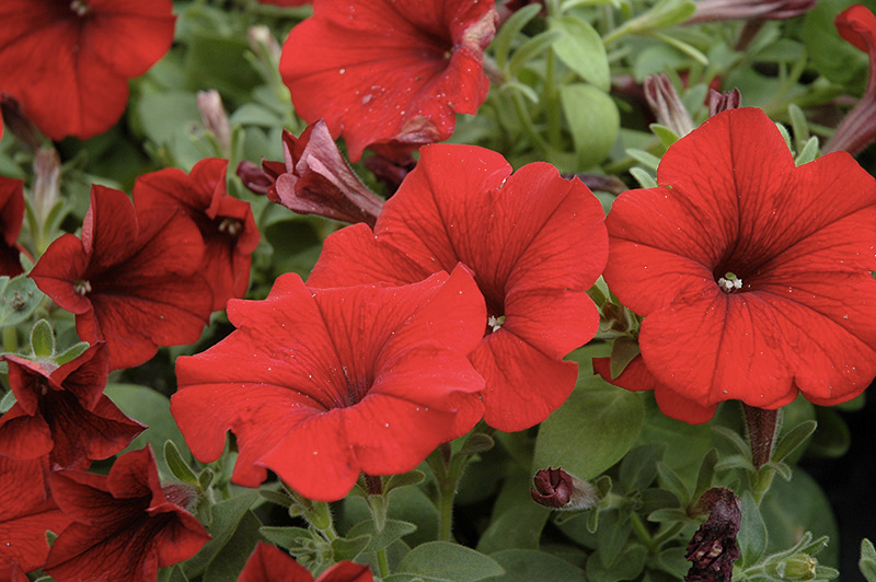 Wave Petunia, Red