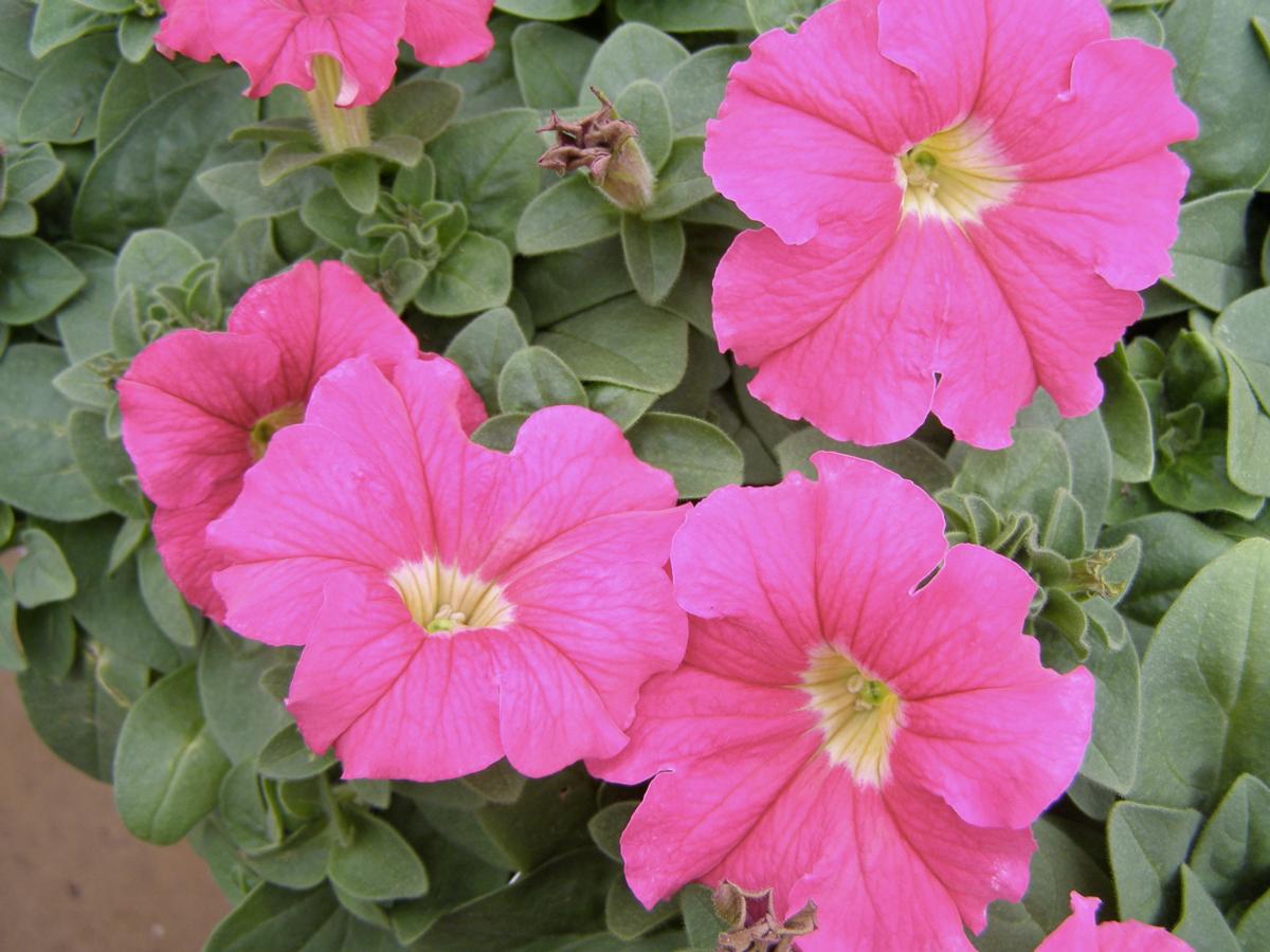 Wave Petunia, Pink