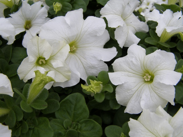 Wave Petunia, White