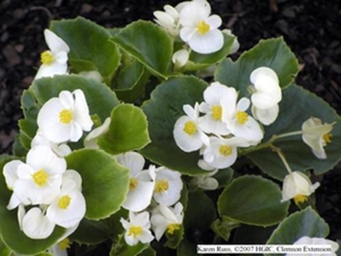 Begonia, Green Leaf White