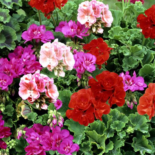 10-inch Geranium, Mixed Colors