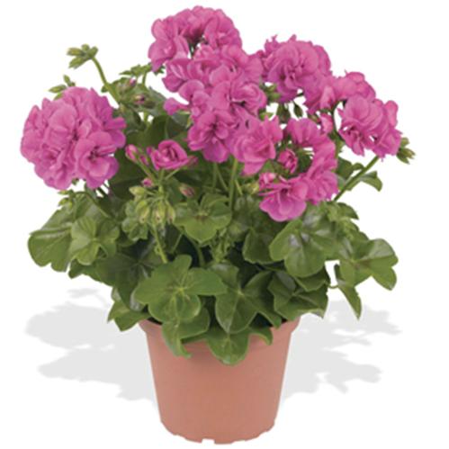 Geranium, Hot Pink