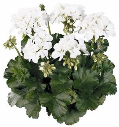 Geranium, White