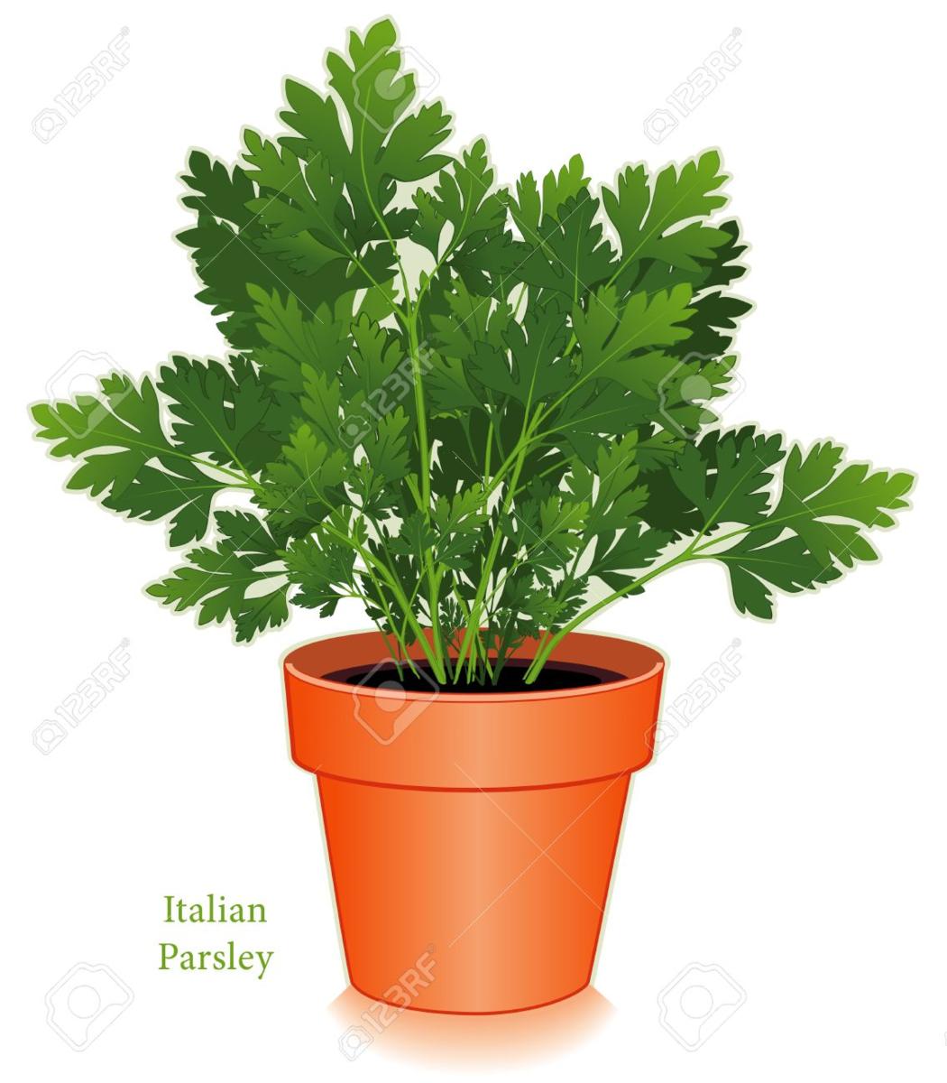 Parsley Flat Leaf Italian