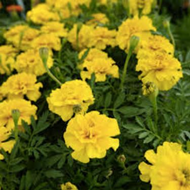 Marigold Dwarf, Safari Yellow