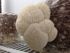Lions Mane Mushrooms (5 oz bag)